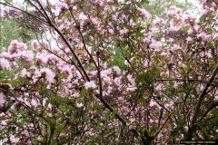 2015-04-17 Minterne Magna Gardens, Dorset.  (58)058