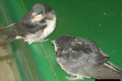 2008-09-05 Norden Nest. Found in station building. (5)0236