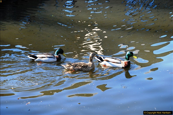 2017-03-25 On the Grand Union Canal near Uxbridge, Middlesex.  (147)309