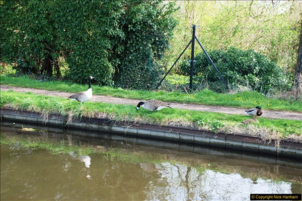 2017-03-25 On the Grand Union Canal near Uxbridge, Middlesex.  (78)240